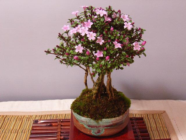 盆栽香丁木母の日のプレゼントに