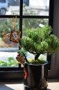 迎春新春2017年ミニ松盆栽【盆栽】ミニ盆栽 ラッピング込 リビングや玄関に直ぐに飾れます 黒竹松盆栽