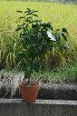 ユズ鉢植え 柚子  2019年10月〜12月 実付きです