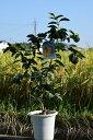 ギフトユズ鉢植え柚子 ゆず 2020年10月〜12月の期間は 実付きです 高さ 50センチ前後柑橘果樹を庭に植えると代々(橙)家が栄えると言われています