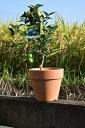 スダチ鉢植え  2019年10月〜12月 実付きです 高さ 30センチ前後