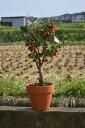 鉢植えりんご2020年敬老の日贈り物にクラブアップル姫りんご 秋には 小さな可愛らしい実をたくさんつけます秋の日ギフトに 実がついています 鉢植え