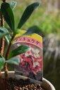 2020年開花ジンチョウゲ鉢植え白沈丁花花の香りがいいかおりがします。ミニ盆栽 開花は毎年三月 自然の香水 沈丁花