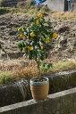 ユズ鉢植え 柚子風呂に入れる ゆず 2017年10月〜12月 実付きです 高さ 50センチ前後