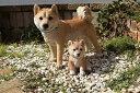置物親子子犬犬置物親子 太郎と小太郎 柴犬子犬