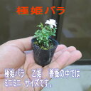 極姫バラ 【山野草】 ミニ ポット   極姫バラ 姫乙女 2015年6月 開花終了しました
