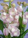 ピンクの人気品種「愛子さま」の3本立ちです。【送料無料】シンビジュウム 愛子さま(アイコサマ) 3本立ち  【送料無料】