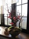 梅と桜の寄せ植え盆栽2012年 香りと花の贈り物梅盆栽 【盆栽】信楽焼き入り紅福梅盆栽 送料無料2012年2月中頃から末頃開花予定梅の開花今年の開花は少し遅めです。