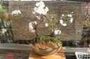 【桜盆栽】 桜盆栽桜の盛り合わせオリジナル寄せ植えサクラ 承ります。 2017年花芽付の桜盆栽となります。