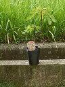 いちじく苗 【庭木】 【果樹】【いちじく】いちじく 苗 ロングドゥートバナーネ イチジク苗  一年性