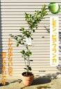 2021年レモン大きいサイズ「ビアフランカレモン」トゲなし檸檬果樹 レモン鉢植え  レモンを育てよう レモン鉢植え 檸檬の鉢植え 果樹栽培