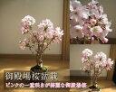 母の日用桜盆栽5月に開花【鉢花】 御殿場桜盆栽花が咲く春 こんな感じで 開花します。盆栽桜盆栽殿場桜