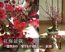新春梅盆栽2018年2月中頃開花 香りと花の贈り物香りもお花も楽しめる 豪快に咲く紅梅