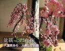しだれ梅送料無料2017年3月末頃開花おすすめ梅盆栽盆栽しだれ梅寄盆栽八重しだれ梅庭植えにも使用できるしだれ梅 人気のしだれ梅信楽鉢入り鉢花