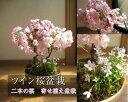 桜盆栽さくら盆栽桜盆栽ツイン桜盆栽信楽鉢入り 桜盆栽と山野草雛海外でも BONSAI ボンサイと言い