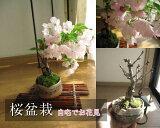 【桜 盆栽】 【盆栽】桜お花見信楽桜盆栽 2015年の春は サクラ盆栽で リピンクでお花見 開花は四月初旬頃ちなみに海外でも BONSAI ボンサイと言います。こんな感じで 咲きます 咲きます 桜が