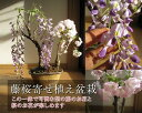 藤盆栽2014年春に咲く お花サクラ盆栽:藤と桜の寄せ植え盆栽藤と桜の開花は四月中頃より開花します。