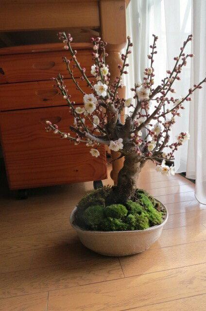 白梅盆栽梅盆栽 【盆栽】信楽焼き入り白梅盆栽 花も綺麗ですがやっばり 梅の甘い天然の香りが最高です。開花 二月中頃~