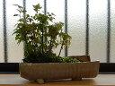 楓寄せ植え盆栽  信楽鉢入り