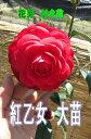 紅乙女紅乙女ツバキ苗 ツバキ苗 【庭木】 【ツバキ】椿 紅乙女 コウオトメ椿
