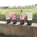 ハナミズキ苗2017年開花予定花水木 花色は選択してください 小苗かわいい花水木 鉢植え向け はなみずき