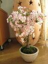 2021年4月に開花桜盆栽【桜 盆栽自宅でお花見さくら盆栽ミニ盆栽の桜サクラ盆栽開花】御殿場桜で お花見 一重のピンクが かわいいです。
