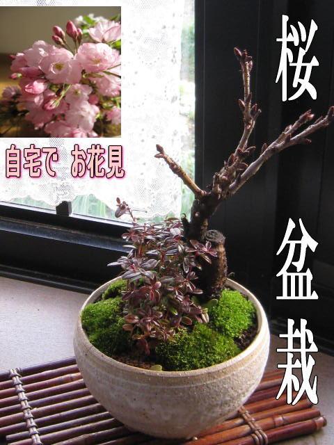 【桜盆栽】自宅でお花見桜盆栽2019年春に桜が咲きます【盆栽】桜盆栽こけももの寄せ植えお花見が楽しめるさくら盆栽です