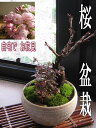 【桜盆栽】自宅でお花見桜盆栽2018年春に桜が咲きます【盆栽】桜盆栽こけももの寄せ植えお花見が楽しめるさくら盆栽です
