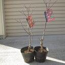 アメリカハナミズキ苗 2本鉢植え向け 苗 2016年開花終了しました。 花ナミズキアカ花 ハナミズキ  2本  ハナミズキレッドジャイアント