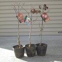 お買い得ハナミズキ苗木ハナミズキ三色セット2017年開花苗 白花ハナミズキとアカハナハナミズキ ハナミズキピンク花の3本セットハナミズキジュニアミスハナミズキクラウドナインハナミズキレッドジャイアント