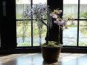藤盆栽と桜の楽しめる2021年開花藤盆栽となります。藤と桜の寄せ植え盆栽藤と桜の開花は四月中頃より開花します。【藤盆栽】手作り信楽鉢入り