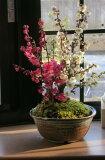 花も綺麗ですがやっばり 梅の甘い天然の香りが最高です。 めでたい 紅白梅盆栽紅白梅盆栽 2014年開花3月頃開花します。梅盆栽 【盆栽】信楽焼き入り紅白梅盆栽