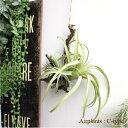 【フェイクグリーン】エアプランツハンギング C-type ティランジア 観葉植物 造花 インテリア CT触媒