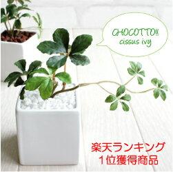 ミニシサスアイビープラント シュガーバイン 観葉植物 造花 インテリア フェイクグリーン...:mintcafe:10000217