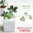 ミニシサスアイビープラント シュガーバイン 観葉植物 造花 インテリア フェイクグリーン 05P29Aug16