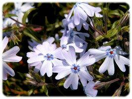 芝桜(シバザクラ)オーキントンブルーアイ 280P ☆ブルー系の中でも代表的な人気のある品種です。☆本場三重県生産!さらに自然環境の中で栽培したもの限定!