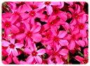 芝桜(シバザクラ)スカーレットフレーム 280P