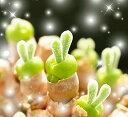 楽天みつき屋【多肉植物】【楽天シール対応】【送料無料】うさ耳 モニラリアの種 10粒 育て方の説明書付き うさぎ cute 1000円 ぽっきり 観葉植物 かわいい ラビット モニラリア 母の日 プレゼント