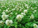 クローバ種 シロクローバー (500g) 【雪印種苗】 [シロツメグサ シロツメクサ 白詰草 白クローバー 牧草種子]