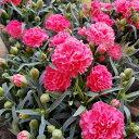 【送料無料】母の日 花 生花 カーネーション ピンク 赤 5号鉢 鉢花 母の日ギフト 2021