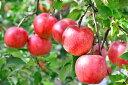 福島県 会津産 蜜入り りんご リンゴ 林檎 (  品種 北斗 ) 2.5kg (6〜9玉)
