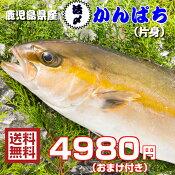 鹿児島県産 カンパチ(養殖)片身 送料無料 かんぱち 間八 お刺身 お寿司 おまけ付き 活〆