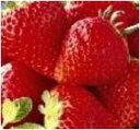 【発送は12月上旬から】 岡山県産真っ赤な「超」大粒いちごのビックリバスケット(大)(1.6kg)「超」大きいのに、味は濃厚!凝縮されたジューシーな美味しさ 【smtb-kd】