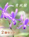 今なら花芽つき--青風蘭 ブルームーン2鉢セットとても貴重な花を産直価格でお楽しみください♪