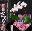 【敬老の日ギフト2016】選べる2種類のミディ胡蝶蘭『花言葉「幸せが飛んでくる」胡蝶蘭』 送料無料/花ギフト