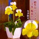 『贈答用洋蘭 幸せの黄色いパフィオ3本仕立て』お月さま色のパフィオ3輪とお洒落陶器でオンリーワンギフ