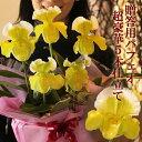 洋ラン『贈答用 幸せの黄色いパフィオ 豪華5本仕立て』鉢花お花好きの方に贈りたい!オンリーワンのフラ