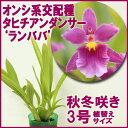 今ならつぼみ〜花付き--楽園に咲く花のように美しい☆オンシ系交配種 タヒチアンダンサー 'ランババ'【育てる栽培セット】』 洋ラン花咲く苗セット育て方の説明書付き