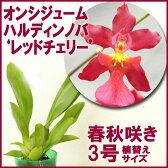 さくらんぼの様に真っ赤な花色♪『オンシジューム ハルディンノバ 'レッドチェリー' 【育てる栽培セット】』初心者さんに勧めたい育てやすさ&咲きやすさ◎の蘭 洋ラン花咲く苗セット