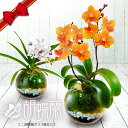 大人気ミニ胡蝶蘭「紫式部」は数量限定!母の日ギフト\選べる花...